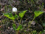Cloudberry (Rubus chamaemorus)